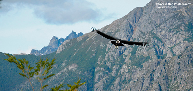 regular sighting from Condor Mountain (photo © Carr Clifton)